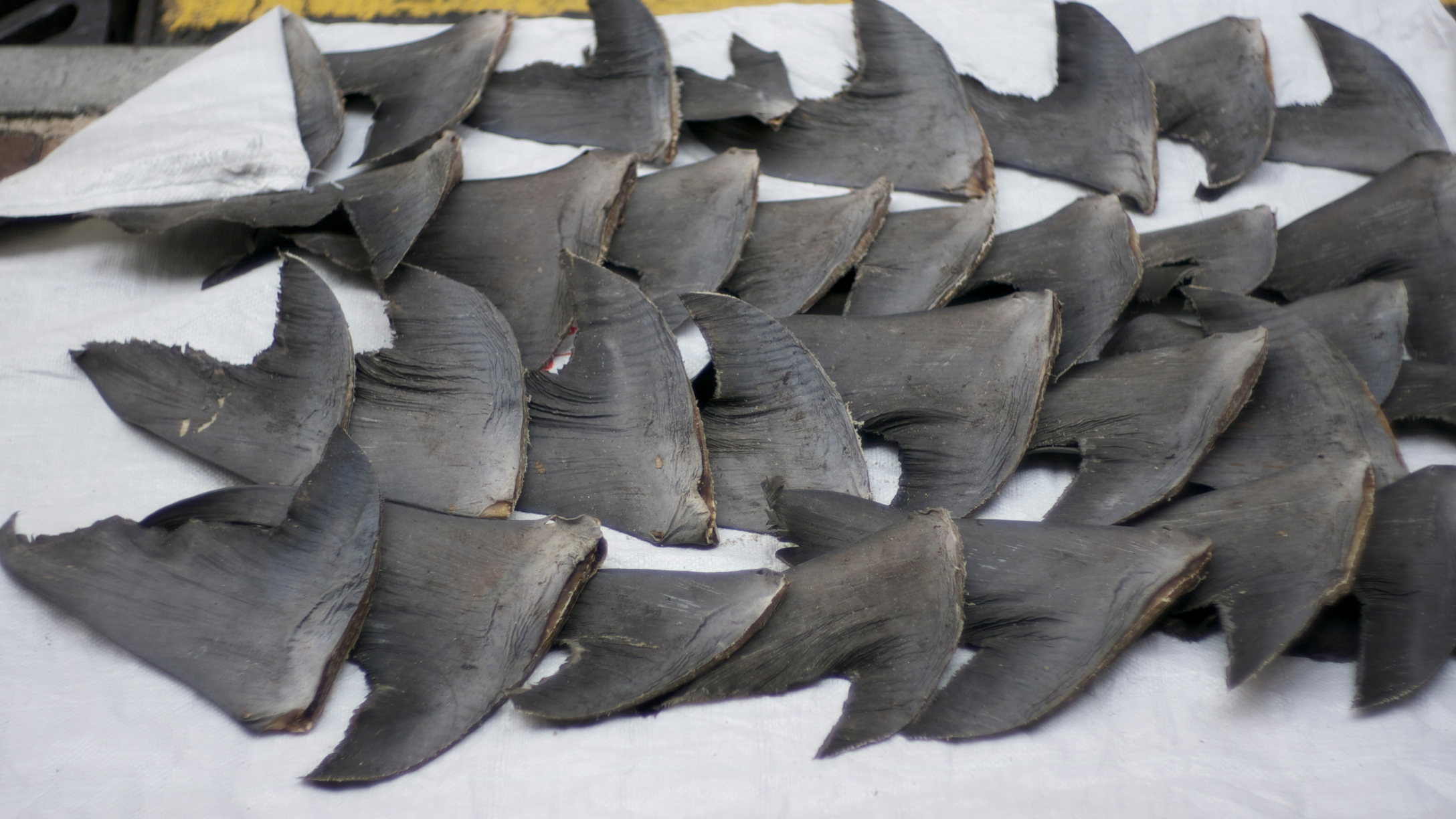 Walked around Sheung Wan area yesterday to shoot for my anti shark fins soup project, I was surprised to see these fresh shark fins being dried on the sidewalk openly on a busy street just 3 blocks from the nearest MTR exit!
